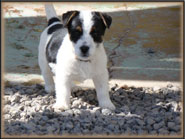Duce, Jack Russell male at Spanky's Dogs