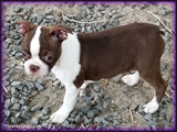 Home Grown Boston Terrier Puppies at Spanky's in Colorado