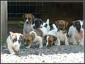Jack Russell Terrier Puppies for sale (Jack Russell Shorties)