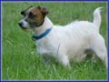 Spanky & his Jack Russell Puppies & awesome moms