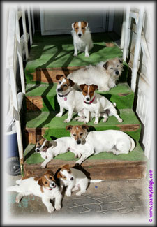 Spanky's Jack Russell Terrier puppies for sale