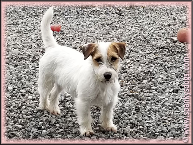 Spanky S Jack Russell Terrier Puppies For Sale Lovable Pups